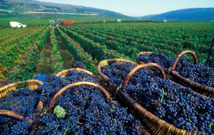 К чему снится вино Сонник — вино во сне