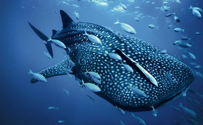 how many shark species