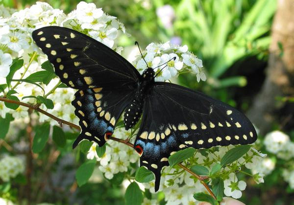 what dreams a black butterfly