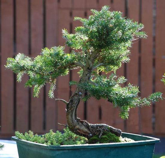 Korean fir planting