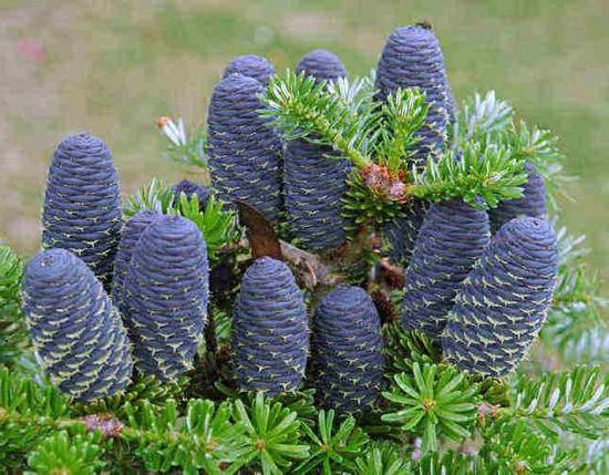 Korean fir blue emperor