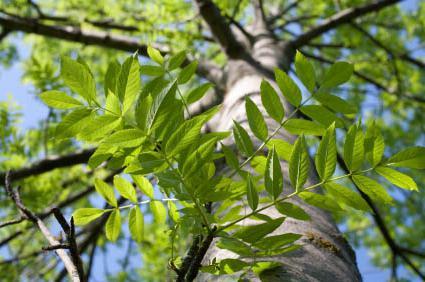 ясень дерево фото листьев
