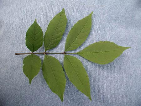 дерево ясень описание