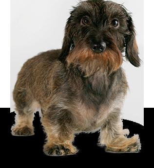 wire haired dachshund character