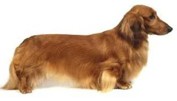 breed dachshund character