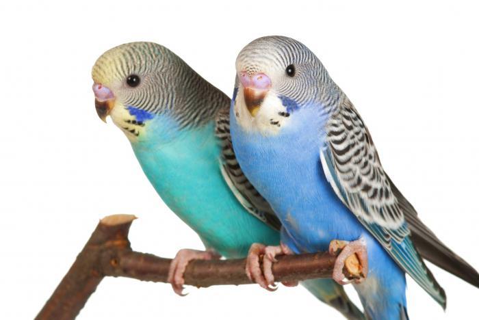 милые попугаи фото