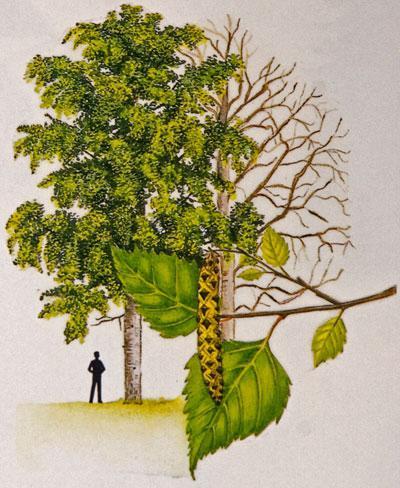 birch hanging warty