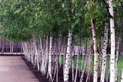 birch hanging seasonal dynamics