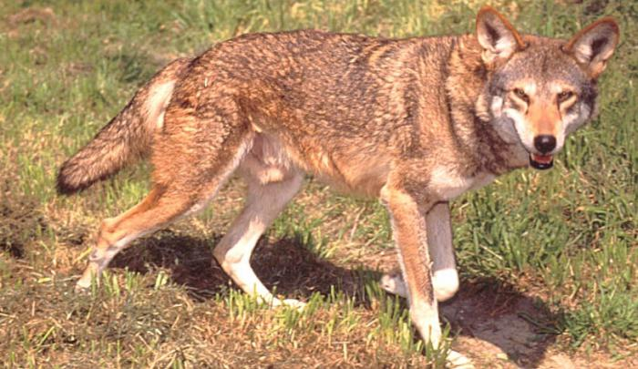 rare animals of Russia