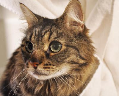 Мочекаменная болезнь у котов: симптомы и лечение в домашних условиях