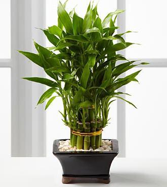 бамбук счастья как ухаживать