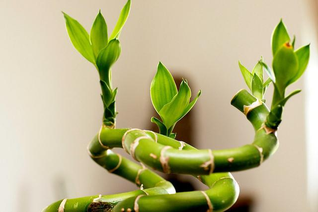 Ванька мокрый цветок - уход в домашних условиях, болезни и