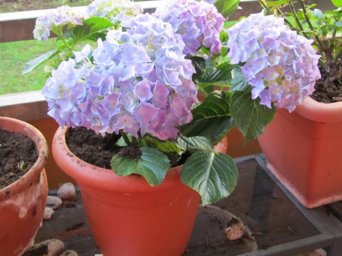 Цветы гортензия комнатная посадка и уход