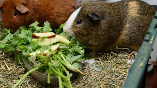 Чем не кормить морских свинок в домашних условиях 431