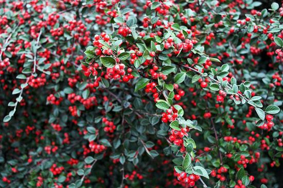 ягоды годжи полезные свойства и противопоказания мщения