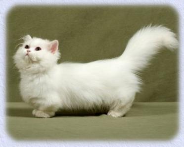 cat breed munchkin