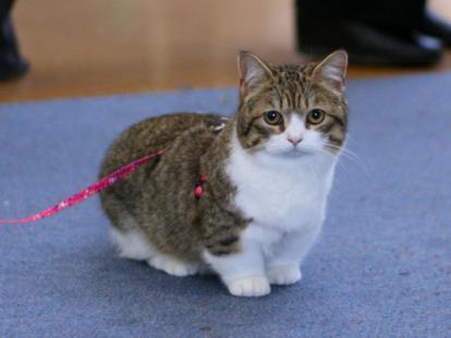 cat with short legs photo