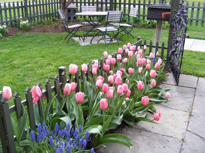 Когда сажать гиацинты и тюльпаны 31