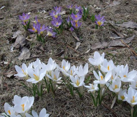 Crocus flowers planting and care