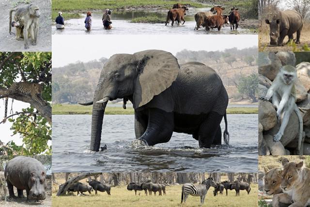 Секс среди африканских буйволов ввс