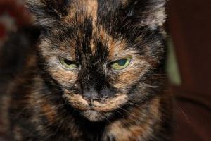 Болезнь у кошек чумка