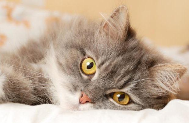 Distemper cats