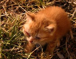 The incubation period of the distemper in cats
