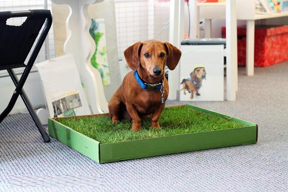 how to teach a dachshund to the tray