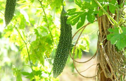 Indian cucumber useful properties