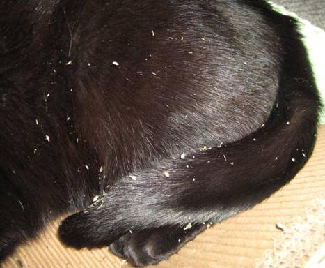 cat dander causes