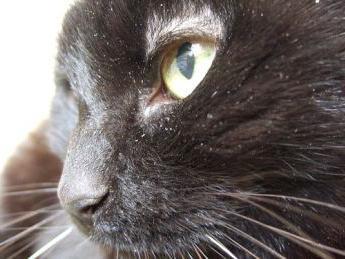 dandruff cat treatment