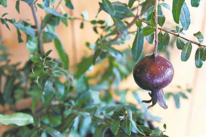 pomegranate houseplant