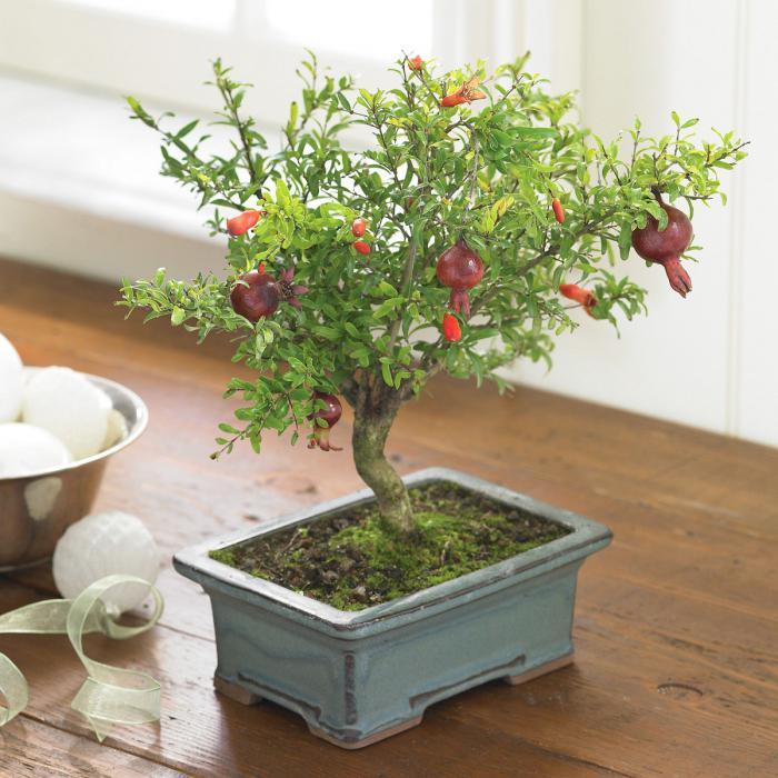 pomegranate pot flowers