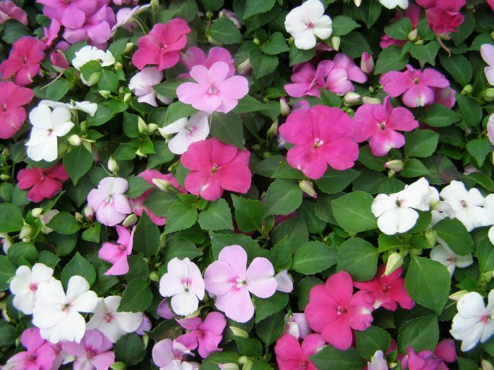 цветок бальзамин как ухаживать