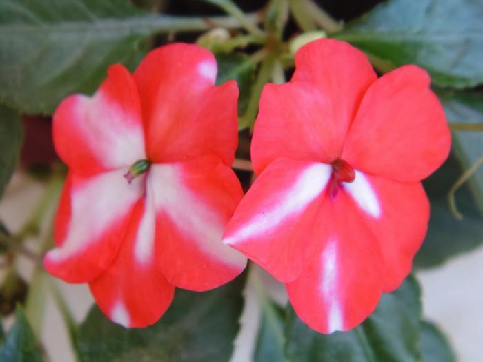 бальзамин растение