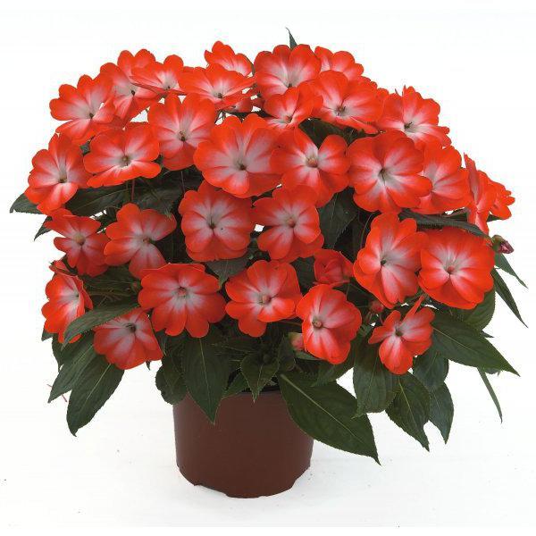 Цветок бальзамин описание
