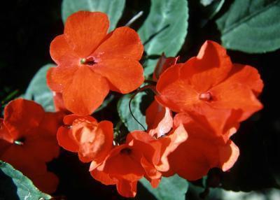 бальзамин цветы