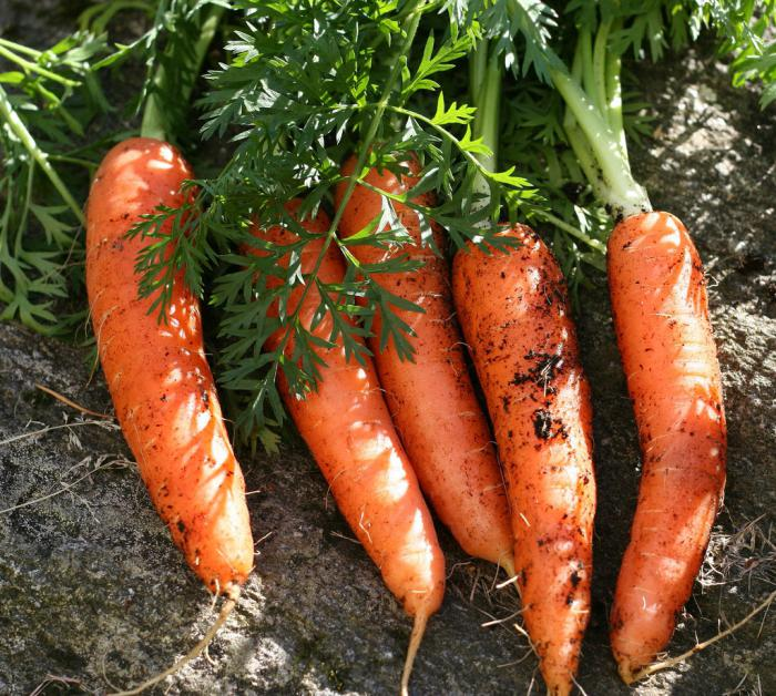 carrot growing and care