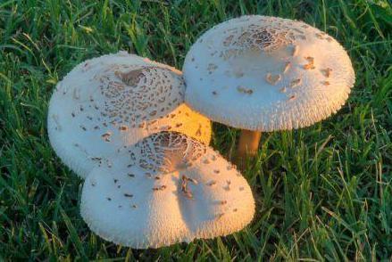 гриб зонтик фото ядовитый фото