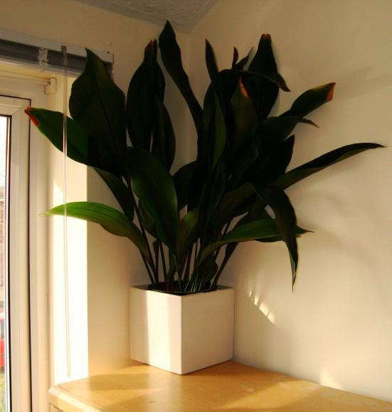 Какие комнатные цветы тенелюбивые