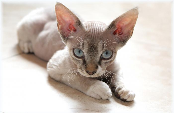 allergy-free cats photo