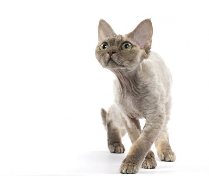 hypoallergenic cat