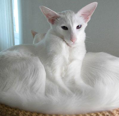 hypoallergenic cat breed photo