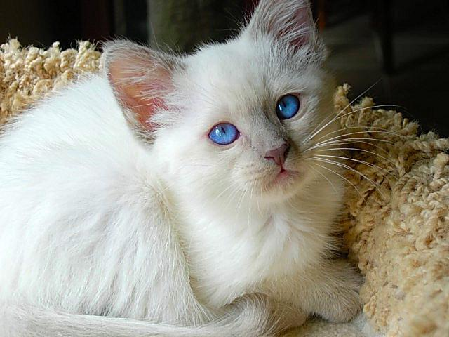 Породы гипоаллергенных кошек с фото