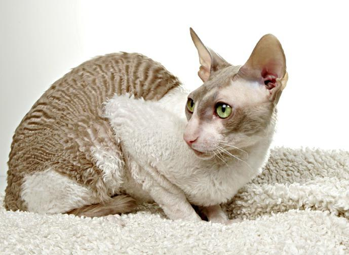 famous breeds of cats