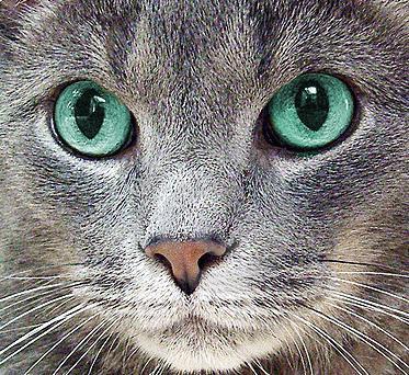 Что делать если у кота сильно слезятся глаза