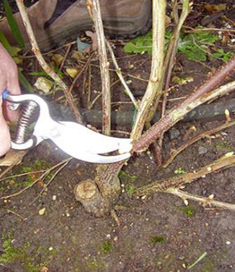 pruning currants after harvest