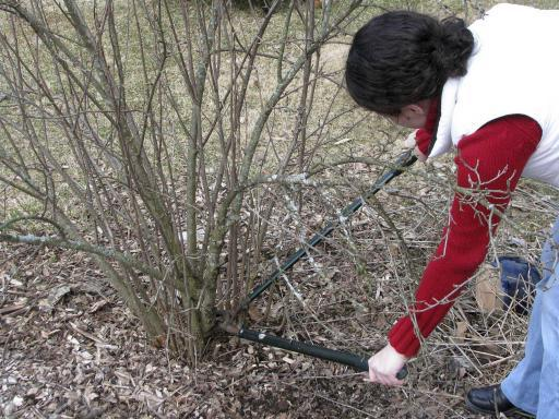 pruning currants in autumn
