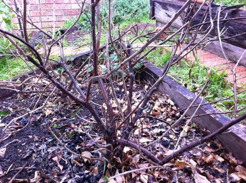 black currant pruning