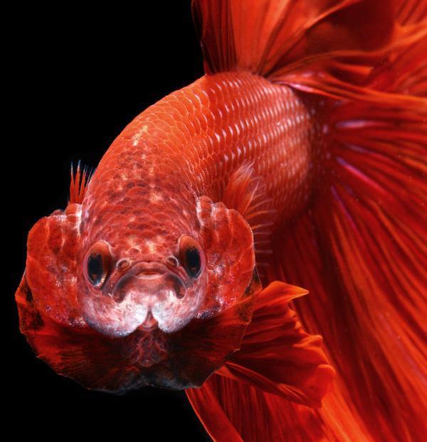 аквариумная рыбка петушок уход